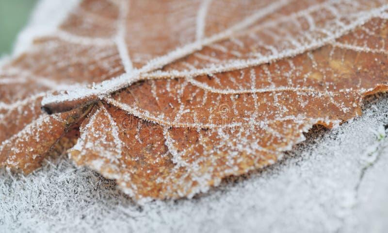 Παγετός στο νεκρό φύλλο στοκ εικόνα