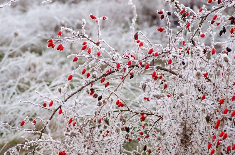 Παγετός Hoar στα ροδαλά ισχία στοκ εικόνες με δικαίωμα ελεύθερης χρήσης