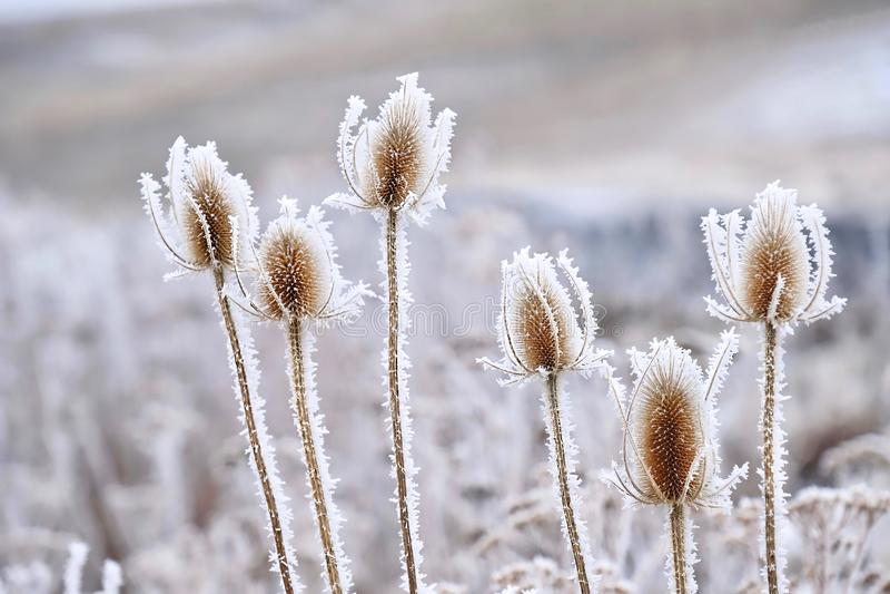 Παγωμένα παγωμένα λουλούδια το χειμώνα στοκ εικόνες