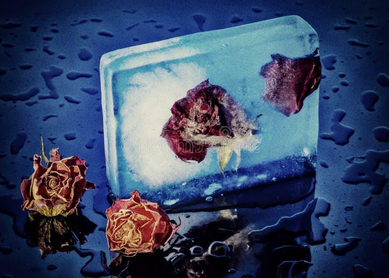 παγωμένα τριαντάφυλλα στοκ εικόνες