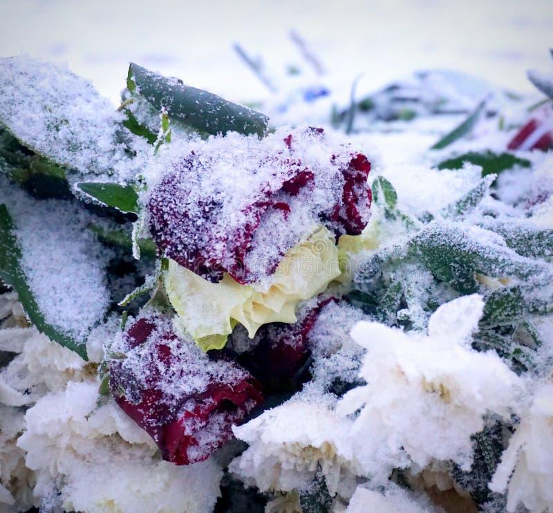 παγωμένα τριαντάφυλλα στοκ φωτογραφίες