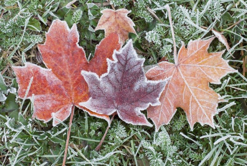 Παγωμένα φύλλα σφενδάμου φθινοπώρου στοκ φωτογραφία