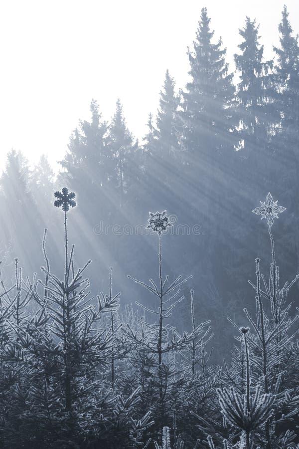 Παγωμένες αιχμές αστεριών στα έλατα στοκ φωτογραφίες