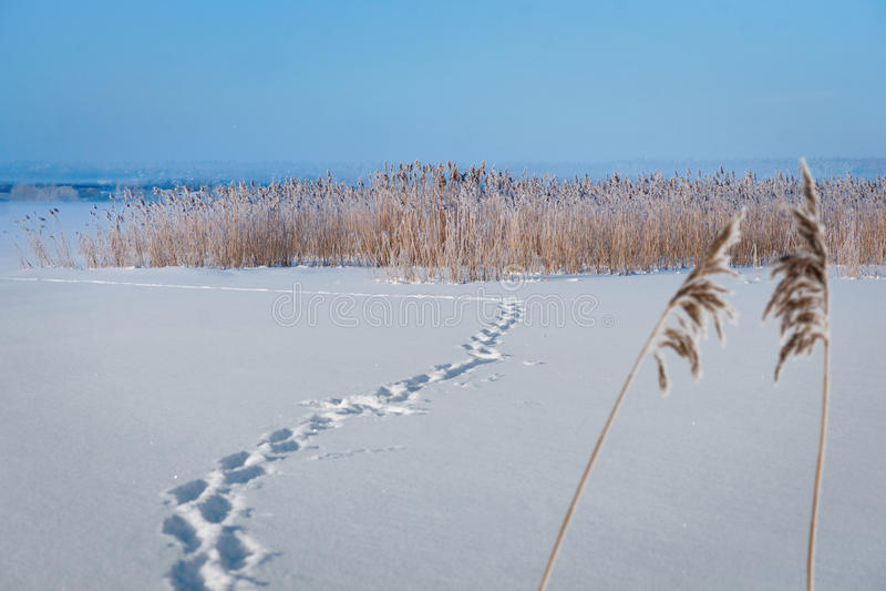 Παγωμένη λίμνη με τους καλάμους στοκ εικόνες με δικαίωμα ελεύθερης χρήσης