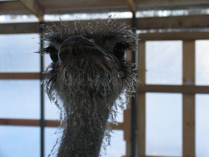 Παγωμένη στρουθοκάμηλος στοκ φωτογραφίες με δικαίωμα ελεύθερης χρήσης