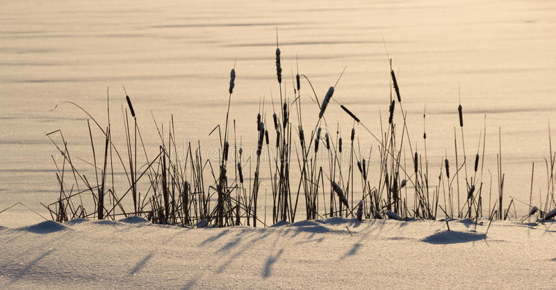 Παγωμένοι κάλαμοι, χειμώνας στοκ εικόνα με δικαίωμα ελεύθερης χρήσης