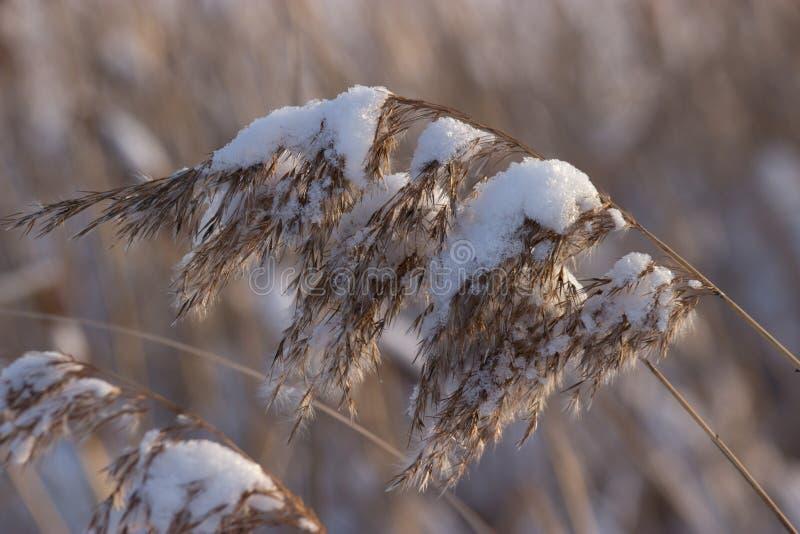 Παγωμένοι κάλαμοι, χειμώνας στοκ φωτογραφίες