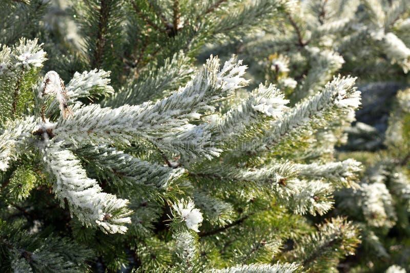 Παγωμένοι κλάδοι δέντρων πεύκων το χειμώνα στοκ φωτογραφία με δικαίωμα ελεύθερης χρήσης