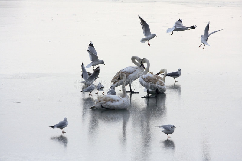 παγωμένοι κύκνοι λιμνών στοκ εικόνες με δικαίωμα ελεύθερης χρήσης