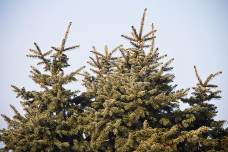 Παγωμένοι κλάδοι χειμώνα του δέντρου πεύκων στον ήλιο στοκ φωτογραφία