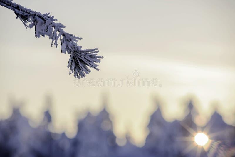 Παγωμένος κλάδος δέντρων έλατου στις ακτίνες του ηλιοβασιλέματος στοκ εικόνες με δικαίωμα ελεύθερης χρήσης