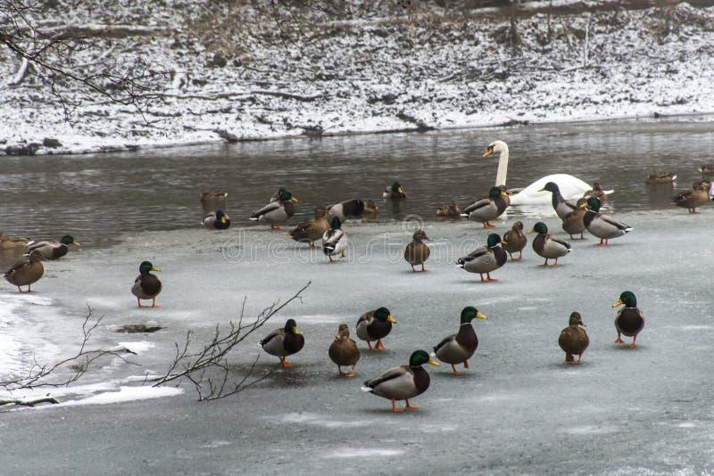 Παγωμένος πάγος λιμνών πουλιών κύκνων παπιών χειμώνας στοκ φωτογραφία