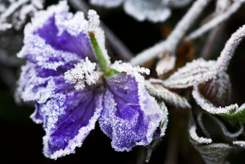 παγωμένος πρόσφατος λουλουδιών πτώσης στοκ φωτογραφίες