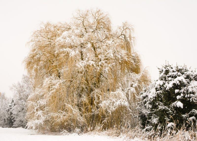 Παγωμένο δέντρο ιτιών κλάματος στοκ εικόνες με δικαίωμα ελεύθερης χρήσης