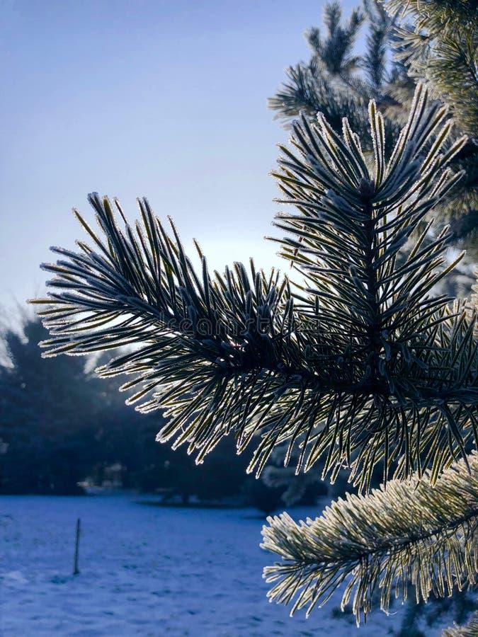 παγωμένο δέντρο πεύκων στοκ φωτογραφίες με δικαίωμα ελεύθερης χρήσης