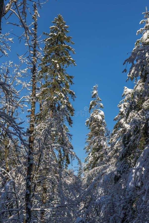 Παγωμένο χειμερινό τοπίο στους χιονώδεις δασικούς κλάδους πεύκων που καλύπτονται με το χιόνι στο κρύο καιρό στοκ εικόνες