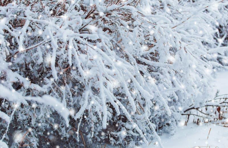 Παγωμένο χειμερινό τοπίο στους χιονώδεις δασικούς κλάδους πεύκων που καλύπτονται με το χιόνι στο κρύο καιρό Υπόβαθρο Χριστουγέννω στοκ φωτογραφία