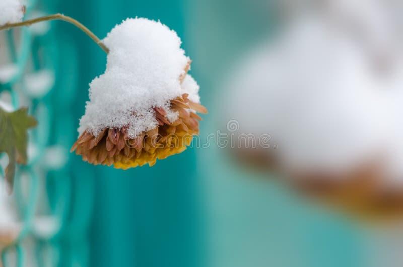 Παγωμένο χρυσάνθεμο Χιόνι στο χρυσάνθεμο Ένα λουλούδι στο blurr στοκ φωτογραφία με δικαίωμα ελεύθερης χρήσης