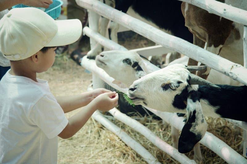 Παιδί που ταΐζει μια αίγα: Κινηματογράφηση σε πρώτο πλάνο στοκ φωτογραφία με δικαίωμα ελεύθερης χρήσης