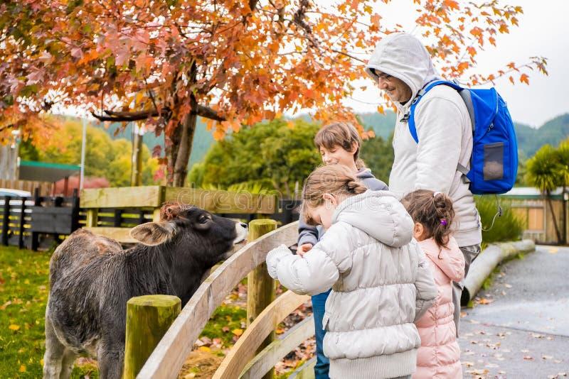 Παιδιά που παίρνουν την προσοχή και που ταΐζουν μια αγελάδα σε ένα αγρόκτημα στοκ εικόνες