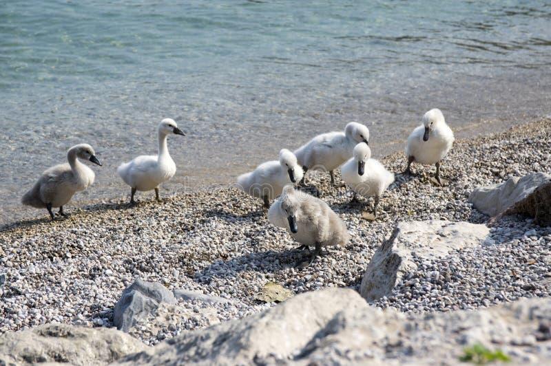 Παιδιά του Κύκνου Lago Di Garda στη λίμνη, Ιταλία, ευτυχής οικογένεια πουλιών στοκ φωτογραφίες