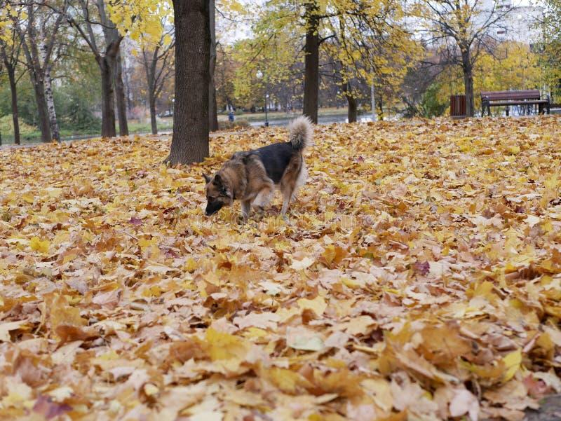 Παιχνίδια σκυλιών στο πάρκο φθινοπώρου στοκ φωτογραφίες με δικαίωμα ελεύθερης χρήσης