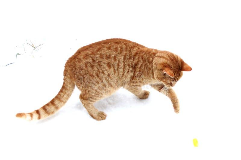 Παιχνίδι γατακιών πιπεροριζών με ένα πώμα μπύρας στο χιόνι στοκ εικόνες