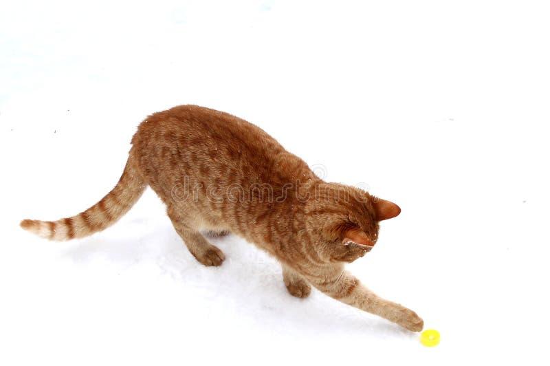 Παιχνίδι γατακιών πιπεροριζών με το πώμα μπύρας στοκ φωτογραφία με δικαίωμα ελεύθερης χρήσης