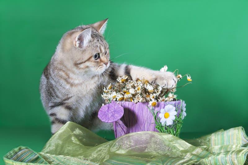 Παιχνίδι γατών Pedigreed με τα λουλούδια σε ένα πράσινο υπόβαθρο στοκ εικόνα με δικαίωμα ελεύθερης χρήσης