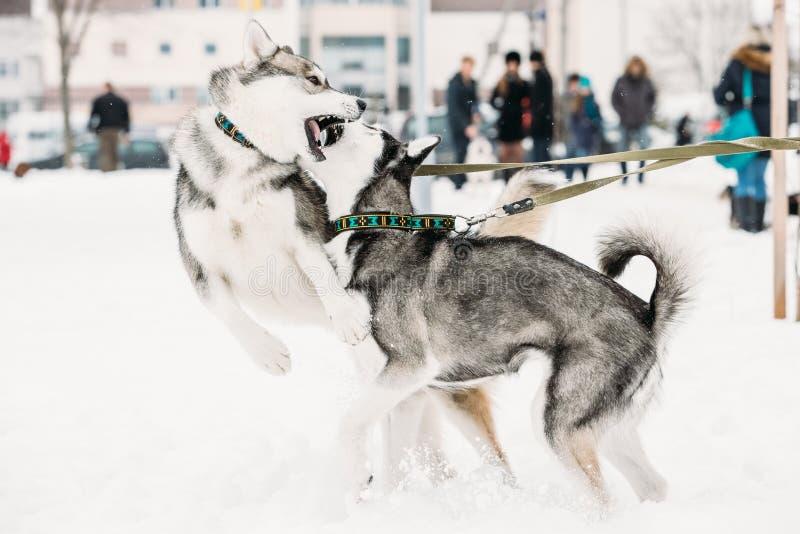 Παιχνίδι δύο αστείο γεροδεμένο σκυλιών μαζί υπαίθριο στο χιόνι στη χειμερινή ημέρα στοκ εικόνα με δικαίωμα ελεύθερης χρήσης