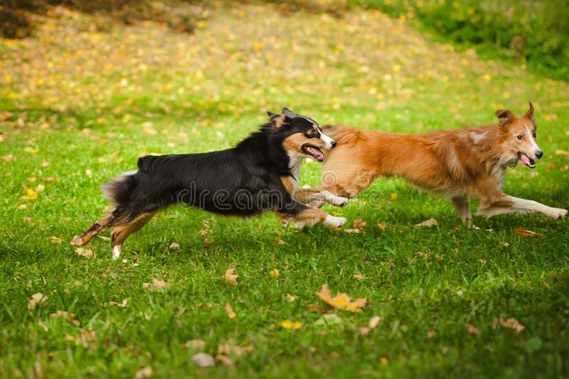 Παιχνίδι δύο αστείο σκυλιών από κοινού στοκ φωτογραφία με δικαίωμα ελεύθερης χρήσης