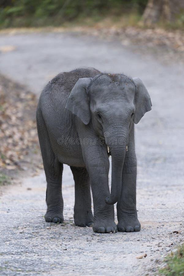 Παιχνίδι μωρών ελεφάντων στο κύριο δρόμο στο dhikala στοκ φωτογραφία με δικαίωμα ελεύθερης χρήσης