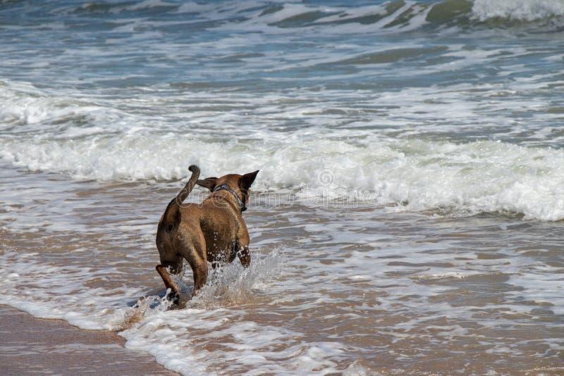 Παιχνίδι σκυλιών στο νερό στην παραλία του ST Augustine στοκ εικόνα