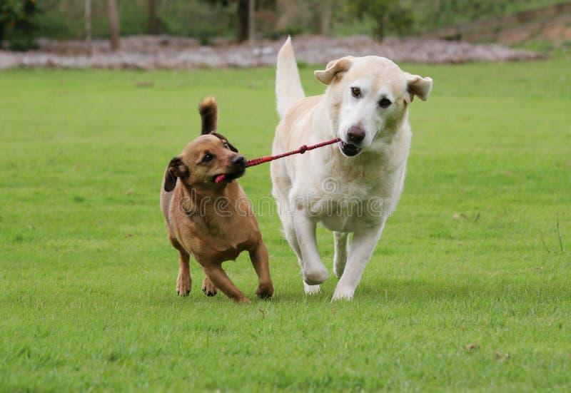 παιχνίδι σχοινιών σκυλιών στοκ φωτογραφίες με δικαίωμα ελεύθερης χρήσης