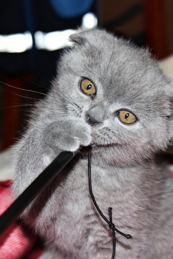 df864addfe40 Παιχνίδι του λίγο αυταράς σκωτσέζικου γατακιού στοκ φωτογραφία με δικαίωμα  ελεύθερης χρήσης
