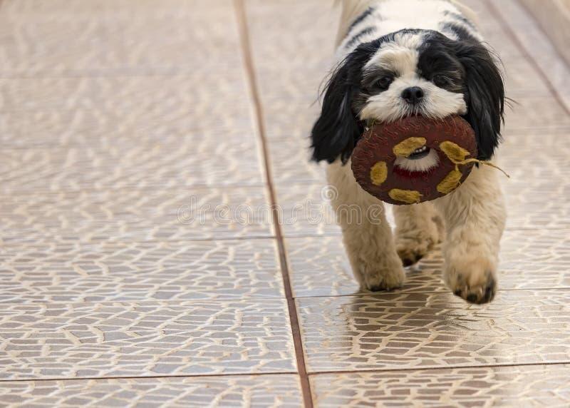 Παιχνίδι Shih Tzu σκυλιών με ένα παιχνίδι - κουτάβι που παίζει ένα παιχνίδι στοκ εικόνες