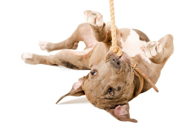 Παιχνίδι κουταβιών Pitbull με ένα σχοινί που βρίσκεται στην πλάτη του στοκ φωτογραφία με δικαίωμα ελεύθερης χρήσης