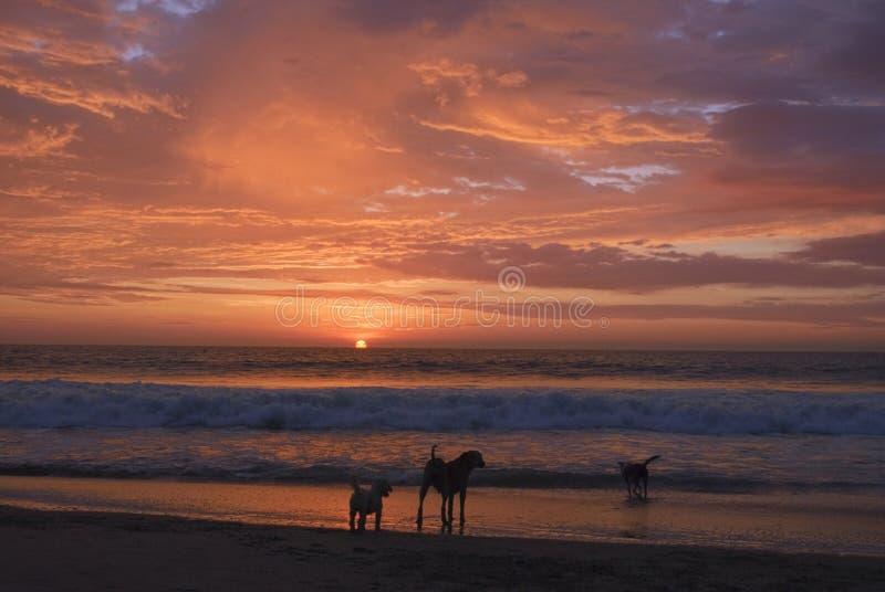 Παιχνίδι σκυλιών στην παραλία ενώ ο ήλιος που τίθεται στη θάλασσα στοκ φωτογραφίες