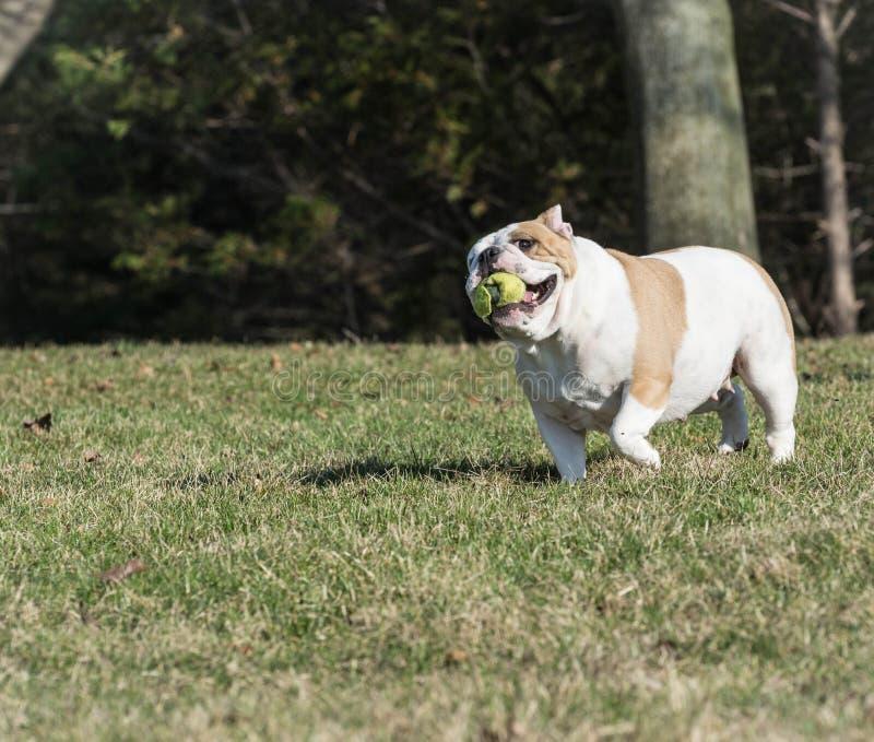 παιχνίδι σκυλιών σύλληψη&sigmaf στοκ εικόνα