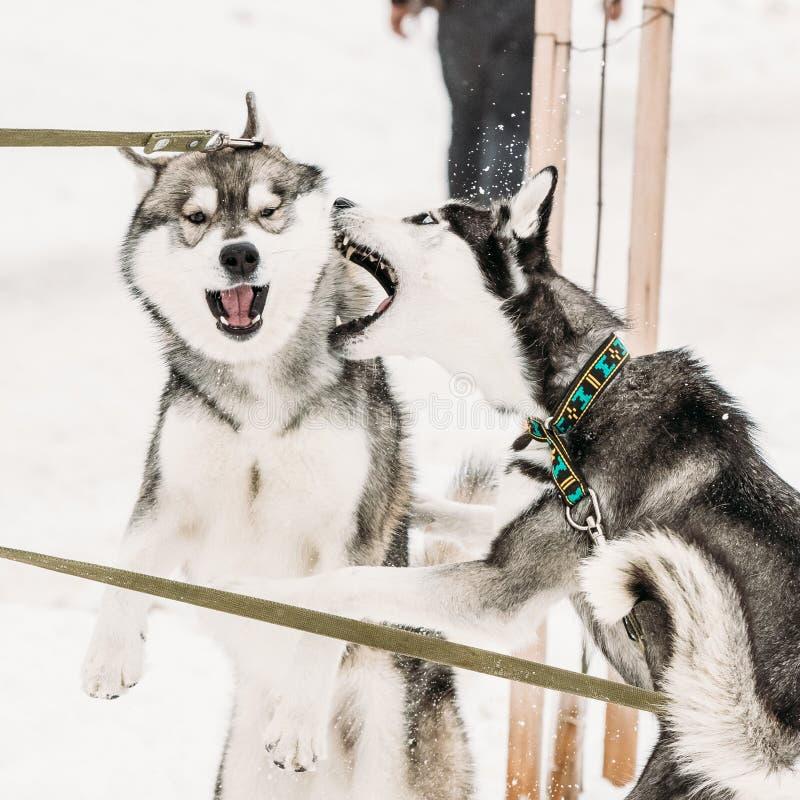 Παιχνίδι δύο αστείο γεροδεμένο σκυλιών μαζί υπαίθριο στο χιόνι στη χειμερινή ημέρα στοκ εικόνες