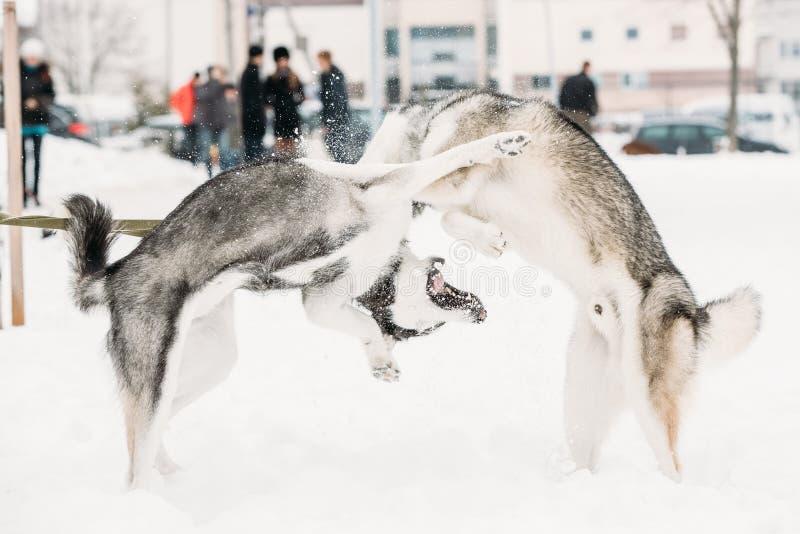 Παιχνίδι δύο αστείο γεροδεμένο σκυλιών μαζί υπαίθριο στο χιόνι στη χειμερινή ημέρα στοκ εικόνα
