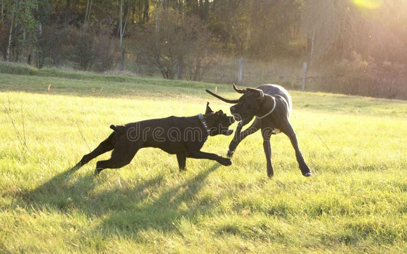 Παιχνίδι δύο μεγάλο σκυλιών τραχύ στοκ εικόνα