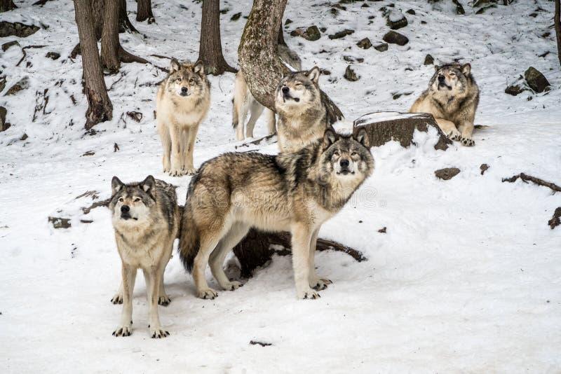 Πακέτο λύκων με τον άλφα στο κέντρο που εξετάζει τη κάμερα στοκ φωτογραφία με δικαίωμα ελεύθερης χρήσης