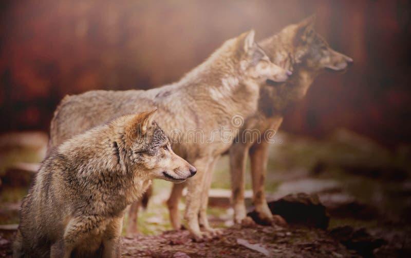 Πακέτο των wolfs στοκ εικόνα με δικαίωμα ελεύθερης χρήσης