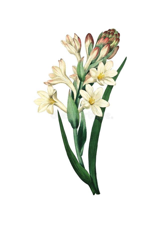 Παλαιά απεικόνιση λουλουδιών Tuberose ελεύθερη απεικόνιση δικαιώματος