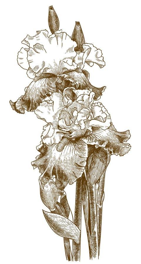 Παλαιά απεικόνιση χάραξης της γενειοφόρου ίριδας διανυσματική απεικόνιση