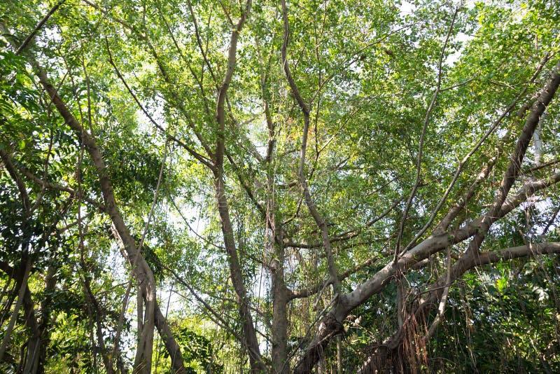 Παλαιά δέντρα και μεγάλος στοκ εικόνες