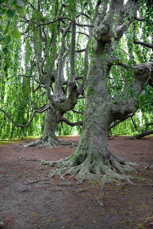 παλαιά δέντρα πολύ στοκ φωτογραφία