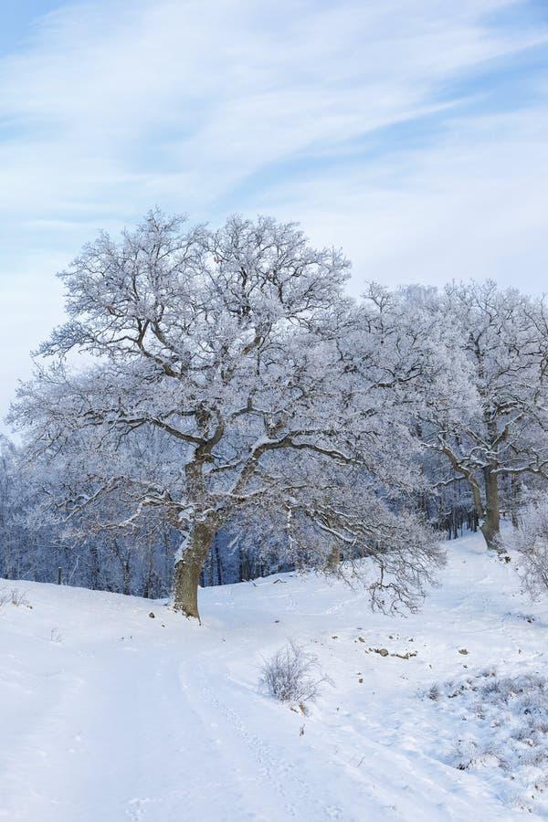 Παλαιά δρύινα δέντρα το χειμώνα στοκ εικόνα