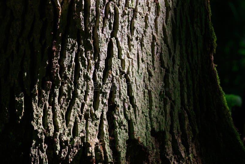 Παλαιά δρύινη κινηματογράφηση σε πρώτο πλάνο σύστασης φλοιών δέντρων στοκ εικόνες